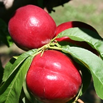 Nectarine Madame Blanchette Fruit Tree