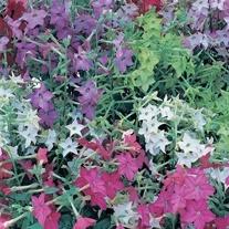 Nicotiana Perfume Mixed F1 Plants