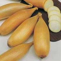 Elista Onion Plants