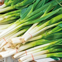 Darcy TSX 8516 Spring Onion Plants