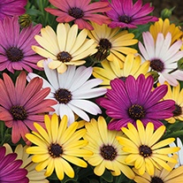 Osteospermum Akila Grand Canyon Mixed F1