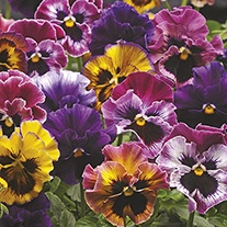 Pansy Fizzy Fruit Salad F1 Mixed Flower Plants