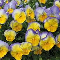 Pansy Cool Wave Blueberry Swirl F1 Flower Plants