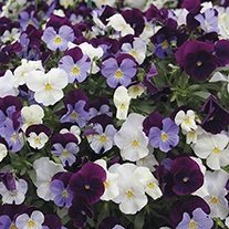 Pansy Cool Wave Berries 'n' Cream Mixed F1