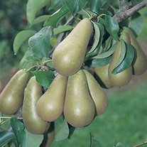 Pear Conference Fruit Tree