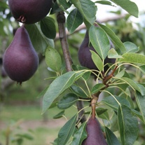 Pear Red Williams Fruit Tree