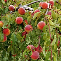 Peach (Weeping) Lacrima fruit tree