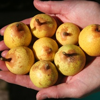 Pear Petite Poire Fruit Tree