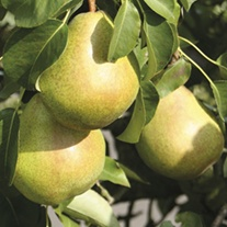 Pear Williams Bon Chretien Fruit Tree