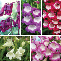 Penstemon Flower Plant Collection