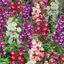 Penstemon Arabesque F1 Mixed Flower Plants