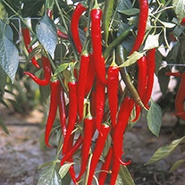 Chilli Pepper Fuego veg plants