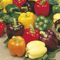 Sweet Pepper Jericho Grafted Plants