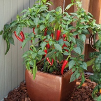 Chilli Pepper Longhorn veg plants