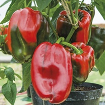 Sweet Pepper Tarquinio plants