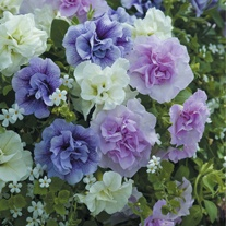 Petunia Tumbelina Scented Falls Flower Plants