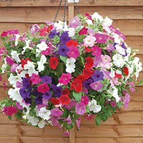 Petunia Easy Wave Mixed F1 plants
