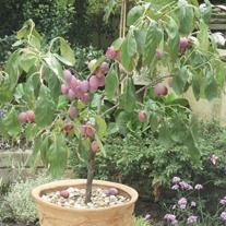 Patio Plum Victoria Fruit Tree