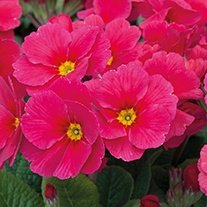 Polyanthus Stella Strawberry Fields Flower Plants