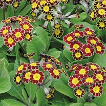 Polyanthus Victoriana Gold Lace Flower Plants