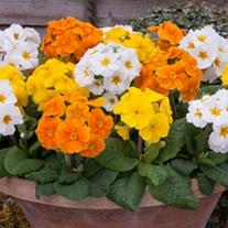 Polyanthus Crescendo Spring Fever F1 Plants