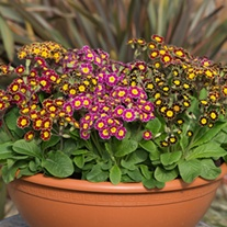 Polyanthus Victoriana F1 Flower Plants