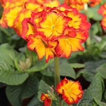 Polyanthus Showstopper Fire Dragon F1 Plants