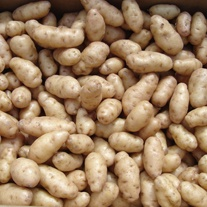 Potato Anya (Second Early Seed Potato)