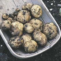 Potato Epicure (First Early Seed Potato)