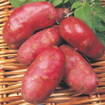 Potato Roseval AGM (Maincrop Seed Potato)
