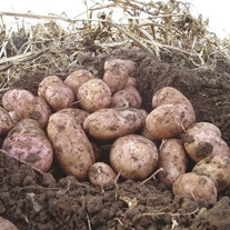 Potato Stemster (Maincrop Seed Potato)