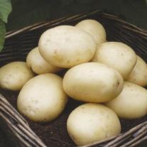 Casablanca Potato Kit