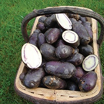 Potato Shetland Black (Second Early Seed Potato)