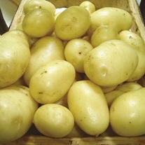 Potato Winston (First Early Seed Potato)