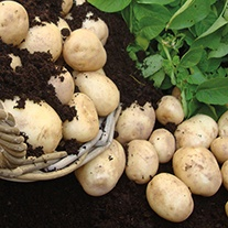 Potato Pentland Crown (Main Seed Potato)