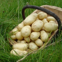 Potato Sharpe's Express (First Early Seed Potato)