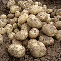 Potato Gemson (Second Early Seed Potato)