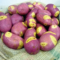 Potato Pink Gypsy (Maincrop Seed Potato)