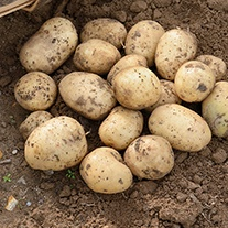 Potato Casablanca (Extra Early Seed Potato)