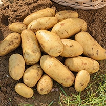 Potato Jazzy (Second Early Seed Potato)