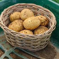 Potato Safari (Maincrop Seed Potato)