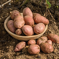 Potato Sarpo Axona (Late Maincrop Seed Potato)