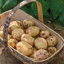 Potato Sunrise (Maincrop Seed Potato)