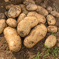 Potato International Kidney (Second Early Seed Potato)