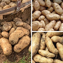 Chef's Culinary Potato Collection