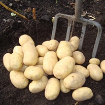 Potato Wilja (Second Early Seed Potatoes)