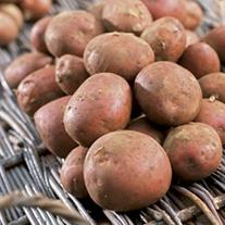 Sentanta (Maincrop Seed Potato)
