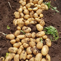 Potato Royal (Maincrop Seed Potato)