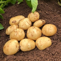 Potato Acoustic (Second Early Seed Potato)