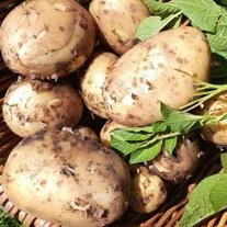 Potato Marvel Seed Potato